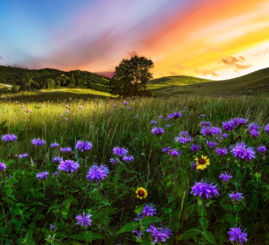 The sun sets behind flowers and a small group of trees in a hilly section of the Saskatchewan landscape.