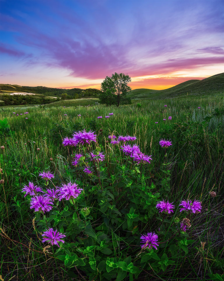 Landscape Photography of a tree on a Saskatchewan hillside with a group of wildflowers in front and a purple sunset behind.