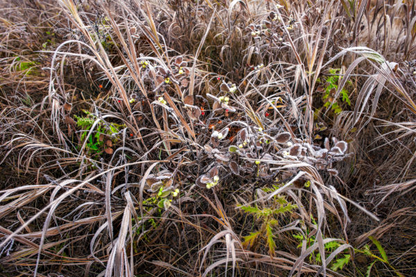A thin layer of frost covers some berries and Saskatchewan grasses in fall