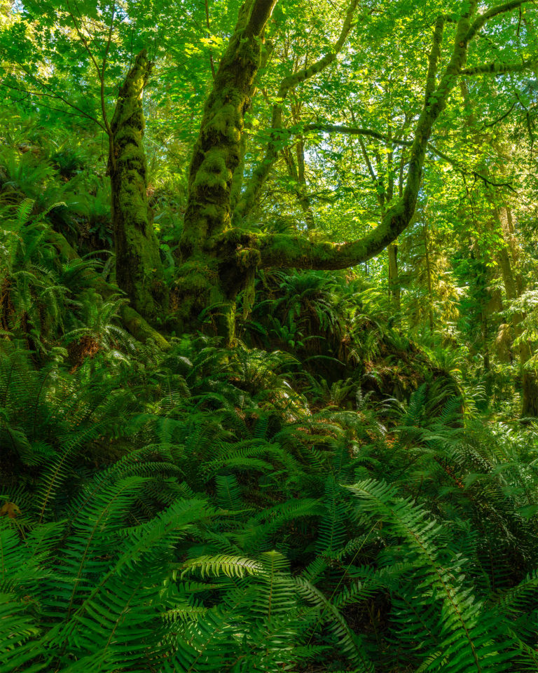 A nature photograph of a tree in the British Columbia rainforest on Gambier Island. Ferns and other foliage are mixed throughout