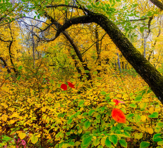 A nature photograph of a group of dark trees in the middle of a sea of golden leaves at Fairy Hill, Saskatchewan