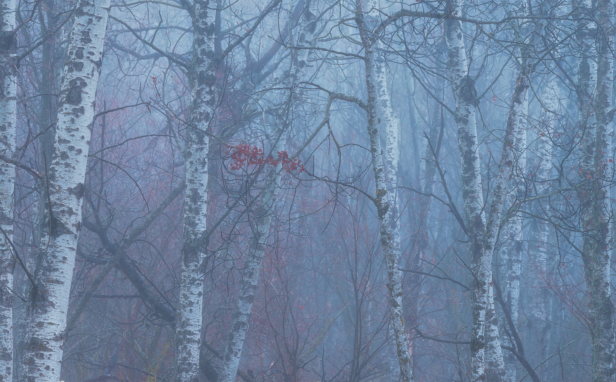 Fog in a Saskatchewan woodland. A group of red leaves is highlighted in the center.