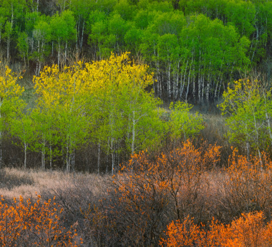 Nature photography of a Saskatchewan valley full of aspen trees with fresh spring greens
