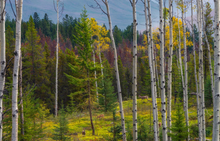 A nature photograph taken in Jasper National Park of aspen trees in autumn colour with light hitting a lone conifer in the background. 4 deer wander through the landscape
