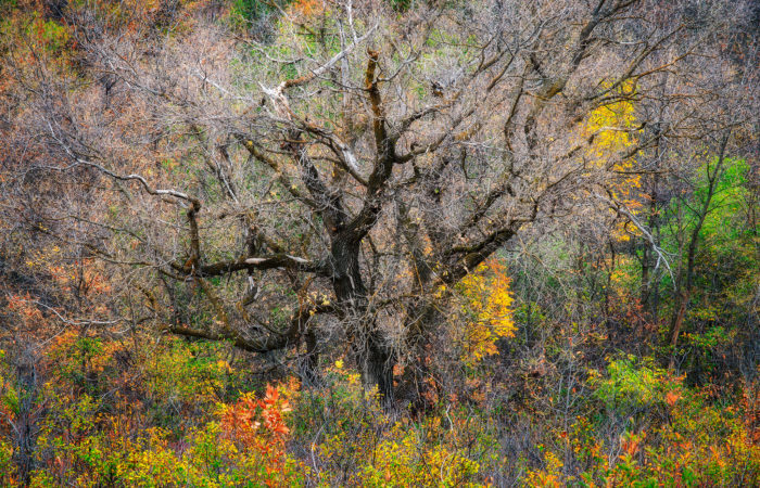 Nature Photography of an old dead tree in Saskatchewan surrounded by fall foliage
