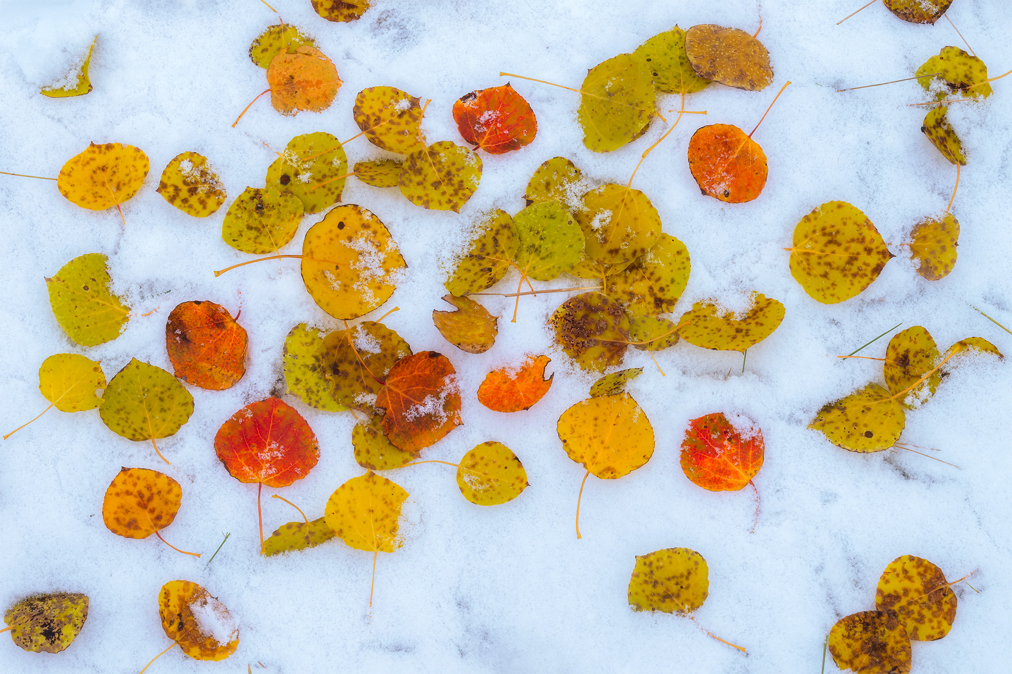 An abstract photograph of aspen leaves on a fresh bed of snow in Saskatchewan