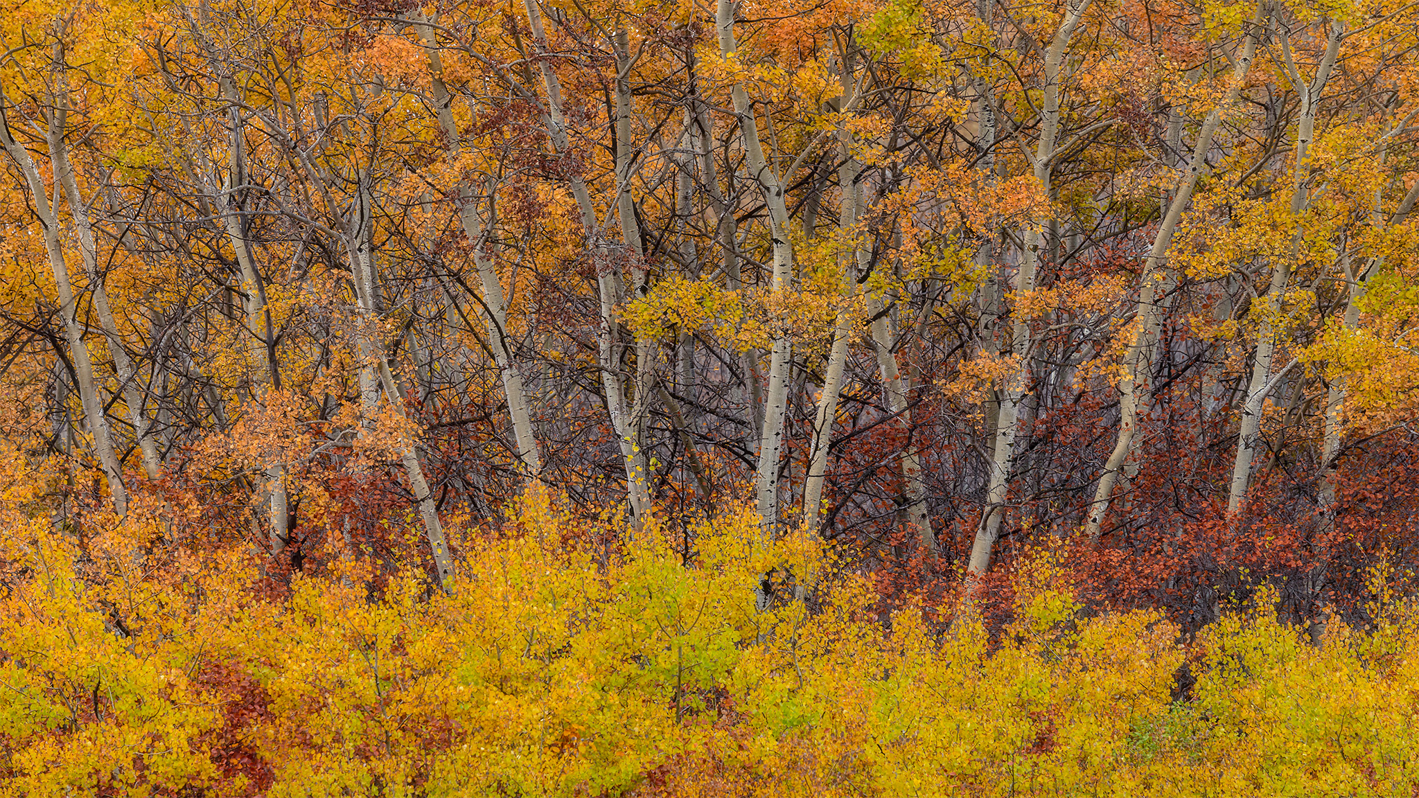 An intimate landscape photograph of fall foliage and aspen trees in Saskatchewan