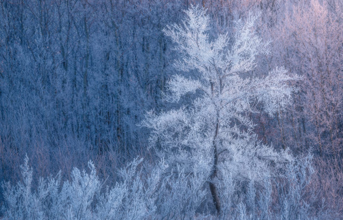 A nature photograph of a tree covered in hoar frost in Saskatchewan