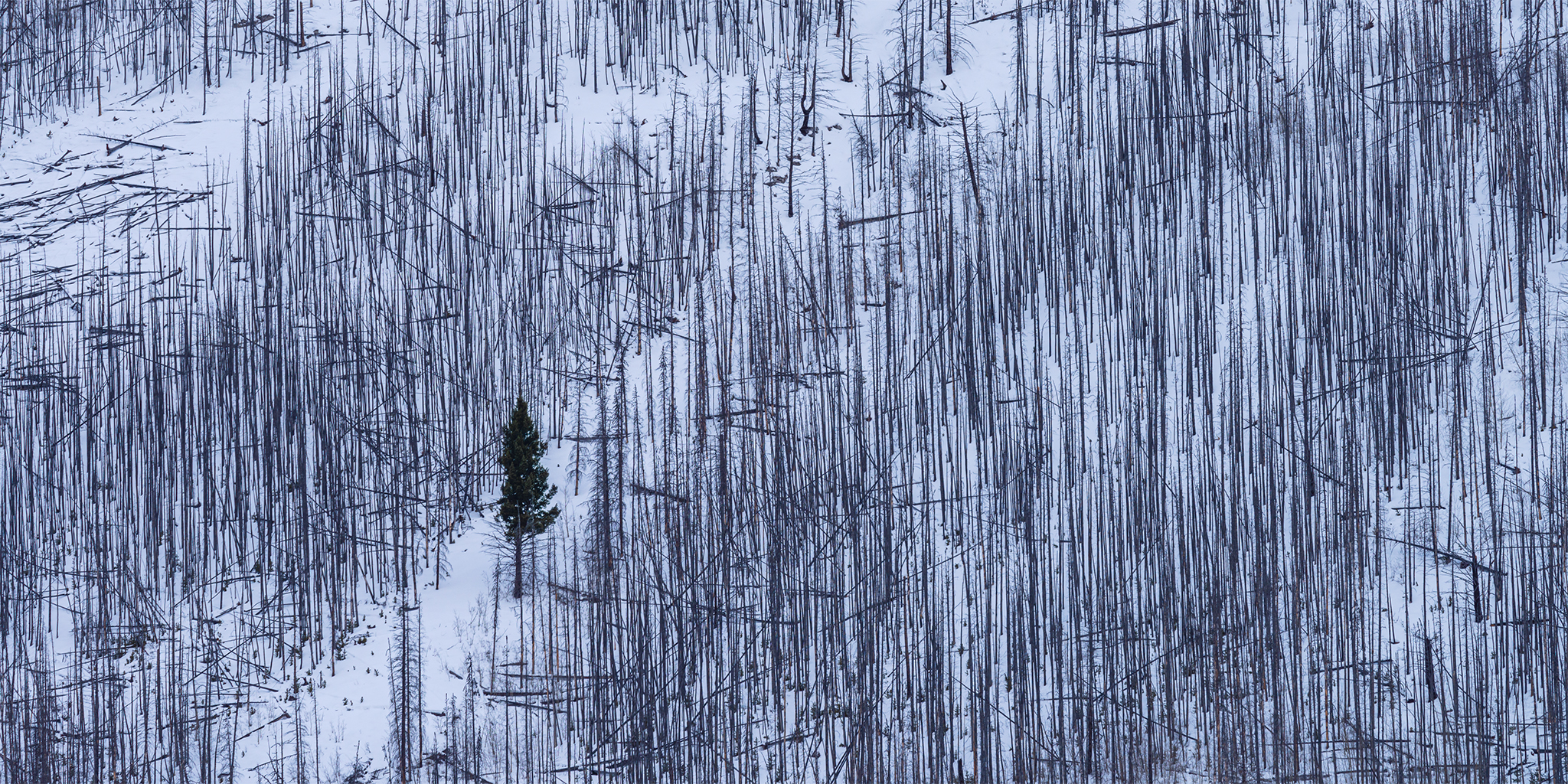 An intimate landscape photograph of a lone surviving tree in the middle of a burnt forest at lake Minnewanka, Alberta