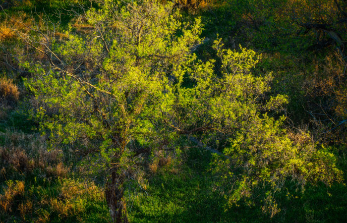 An intimate landscape photograph of an old Cottonwood tree in vibrant spring colour in Wascana Trails, Saskatchewan