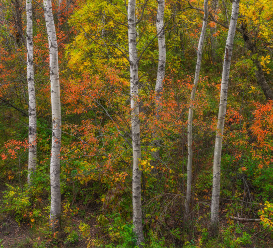 An intimate landscape photograph featuring several aspen trees and fall foliage in the Qu'Apelle Valley, Saskatchewan