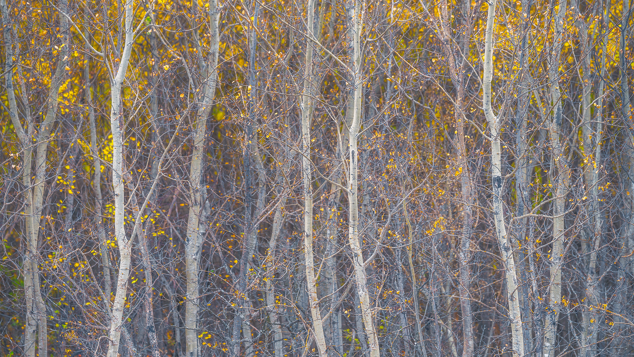 An intimate landscape photograph of aspen trees in the fall at White Butte Trails Saskatchewan