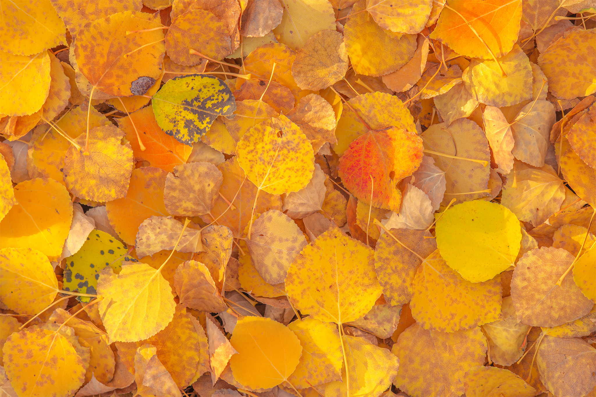An abstract landscape photograph of different coloured aspen leaves covering the ground