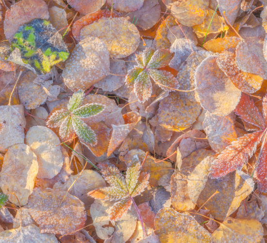 An intimate landscape photograph of Frost covering fallen leaves in the fall in White Butte Trails, Saskatchewan