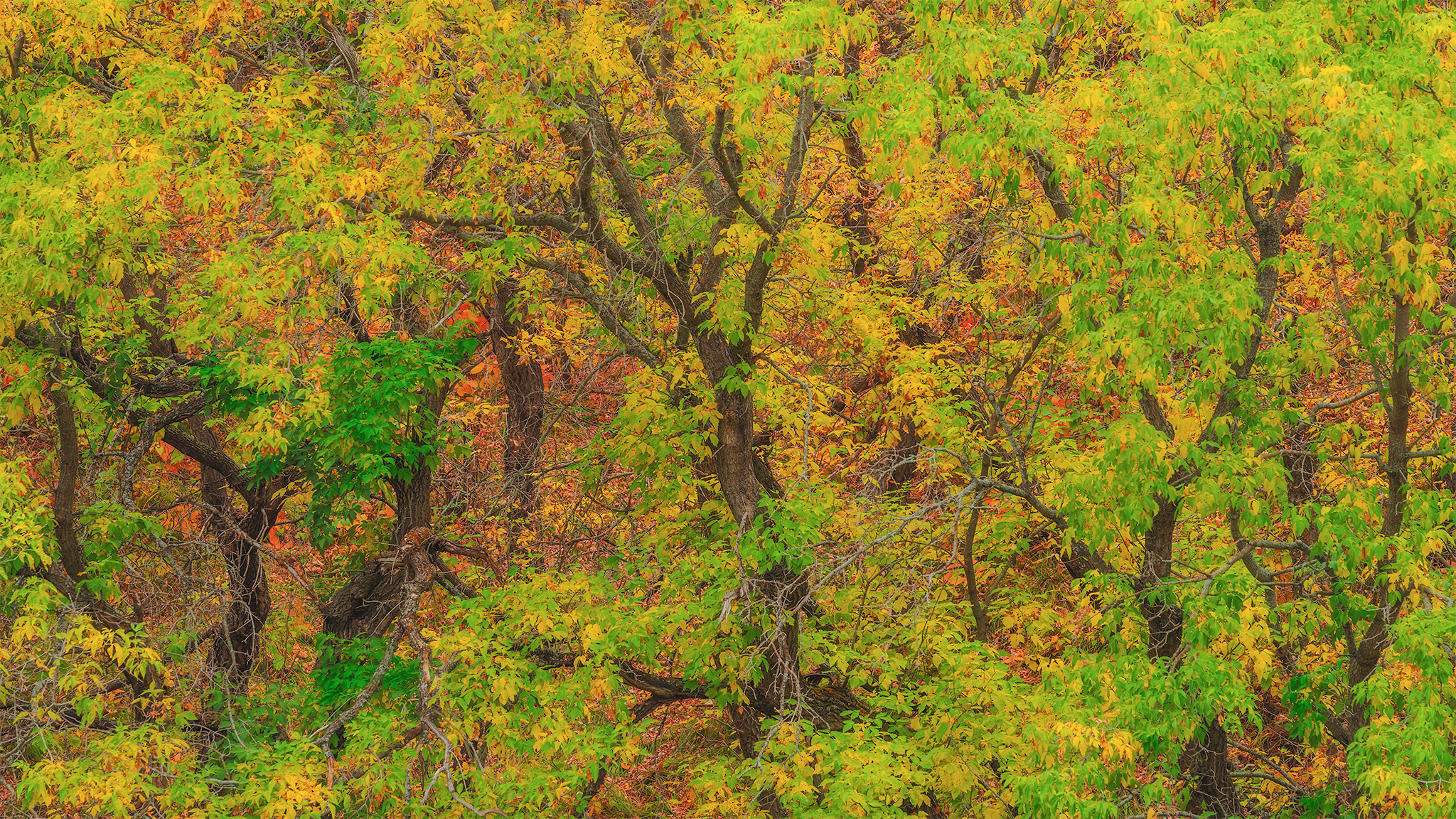 An intimate landscape photograph of a twisted forest with vibrant fall foliage in Fort Qu'appelle Saskatchewan