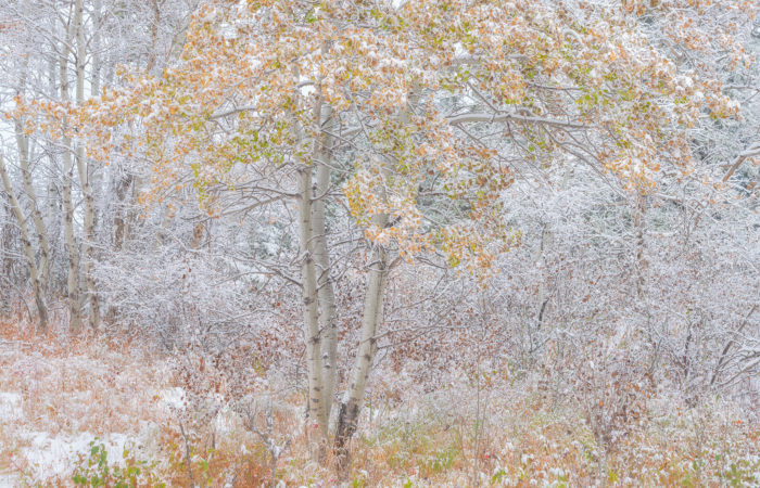An intimate landscape photograph of an aspen tree covered in snow in fall colour in Saskatchewan