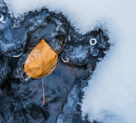 An intimate landscape photograph of a leaf encased in ice during fall at Pine Cree Regional Park, Saskatchewan
