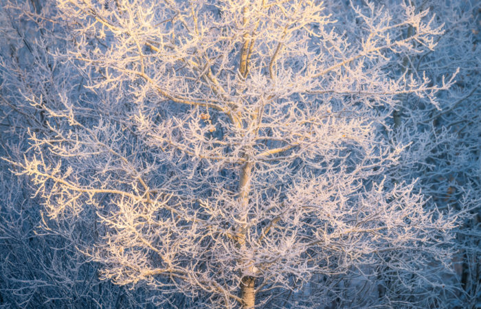 An intimate landscape photograph of an aspen tree covered in hoar frost in white butte trails in morning light in Saskatchewan