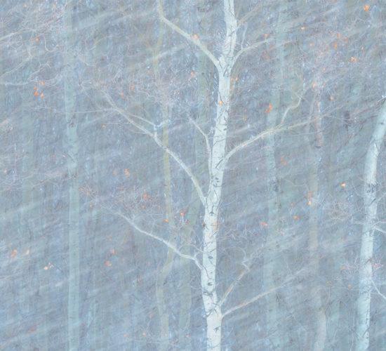 An intimate landscape photograph of an aspen forest during a Saskatchewan blizzard