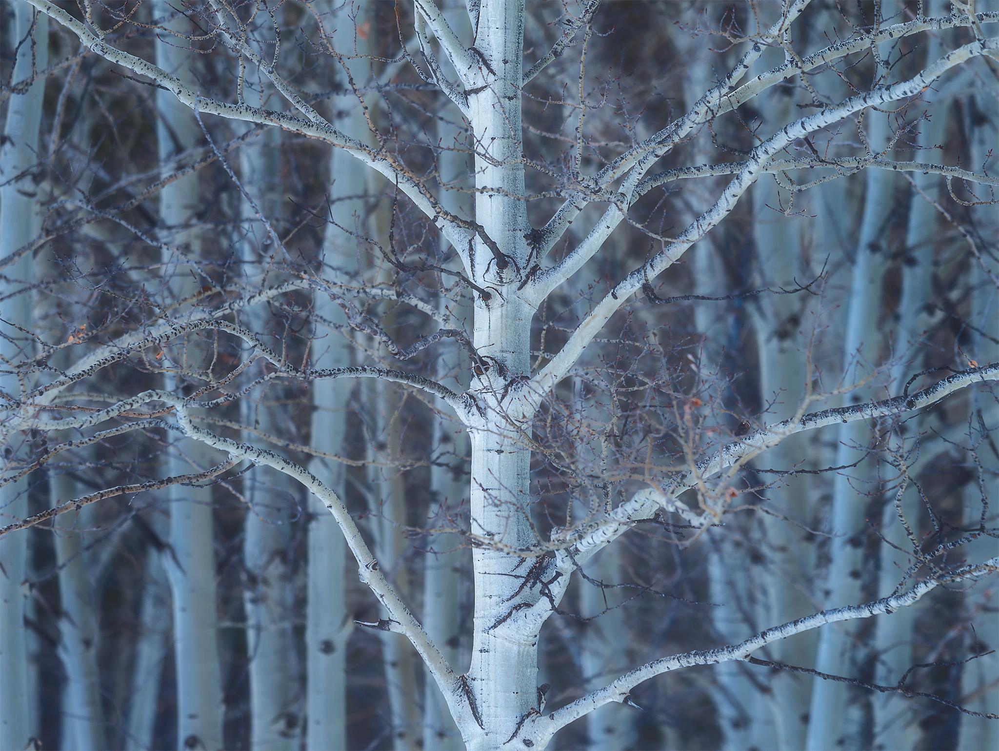 An intimate landscape photograph of an aspen tree beside Abraham Lake, Alberta