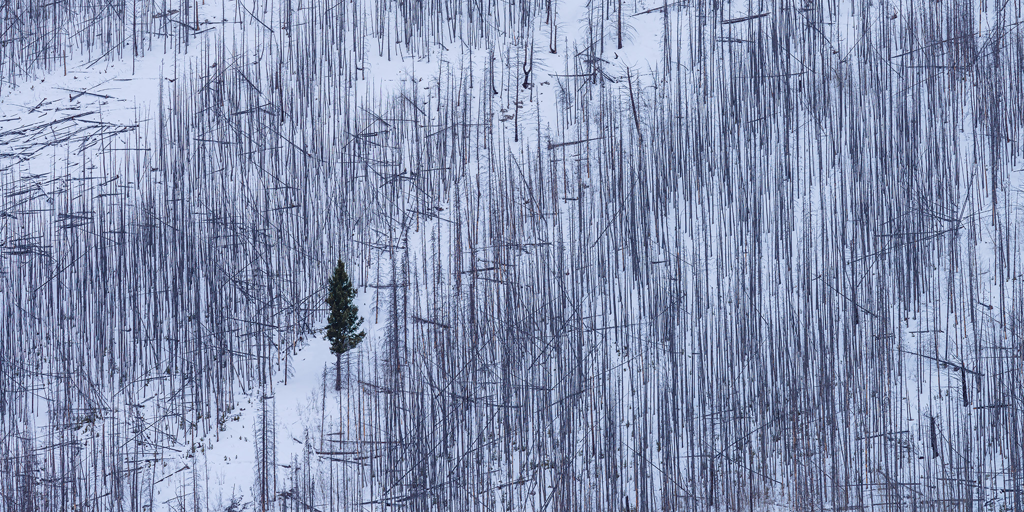 A lone conifer stands in a burnt forest in the Canadian Rockies