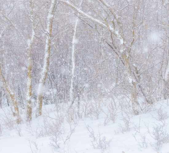 An intimate landscape photograph of trees in the snow at Wascana Trails, Saskatchewan