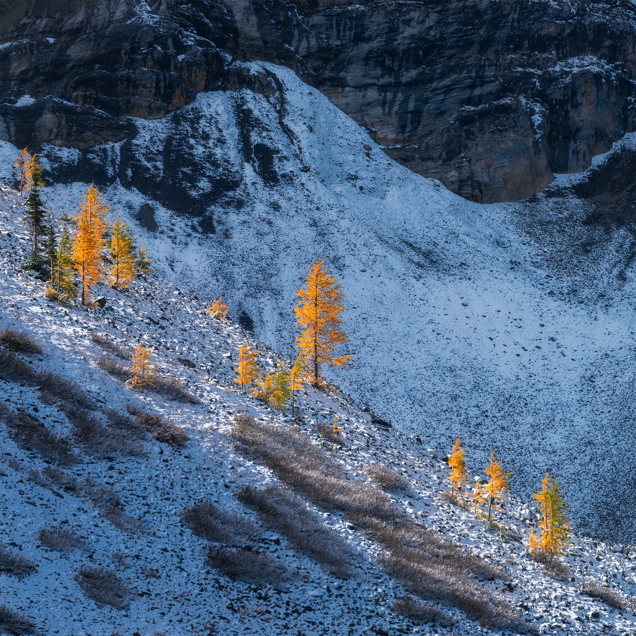 An intimate landscape photograph of golden larch trees in the Canadian Rockies