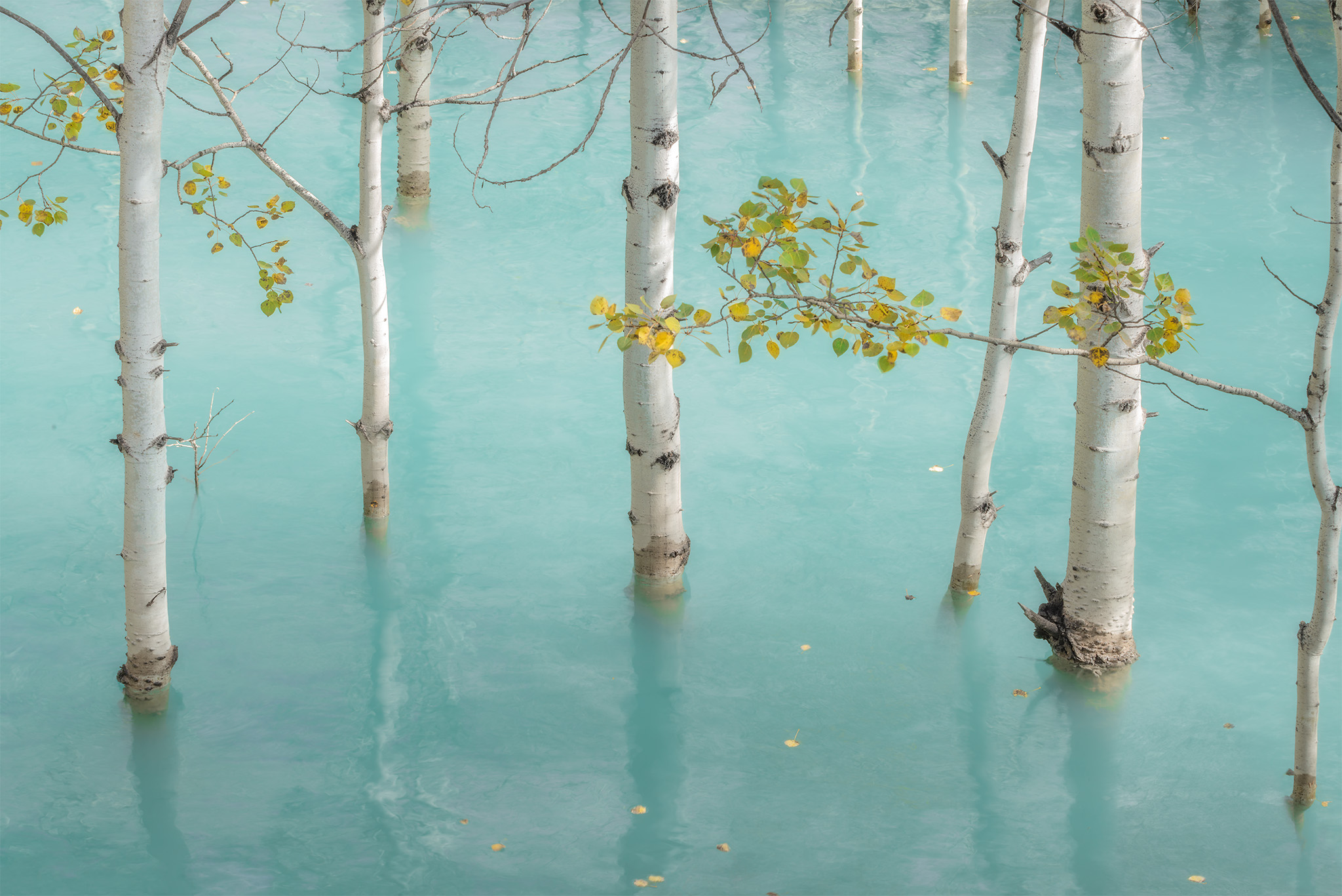 An intimate landscape photograph of flooded aspen trees at Abraham Lake