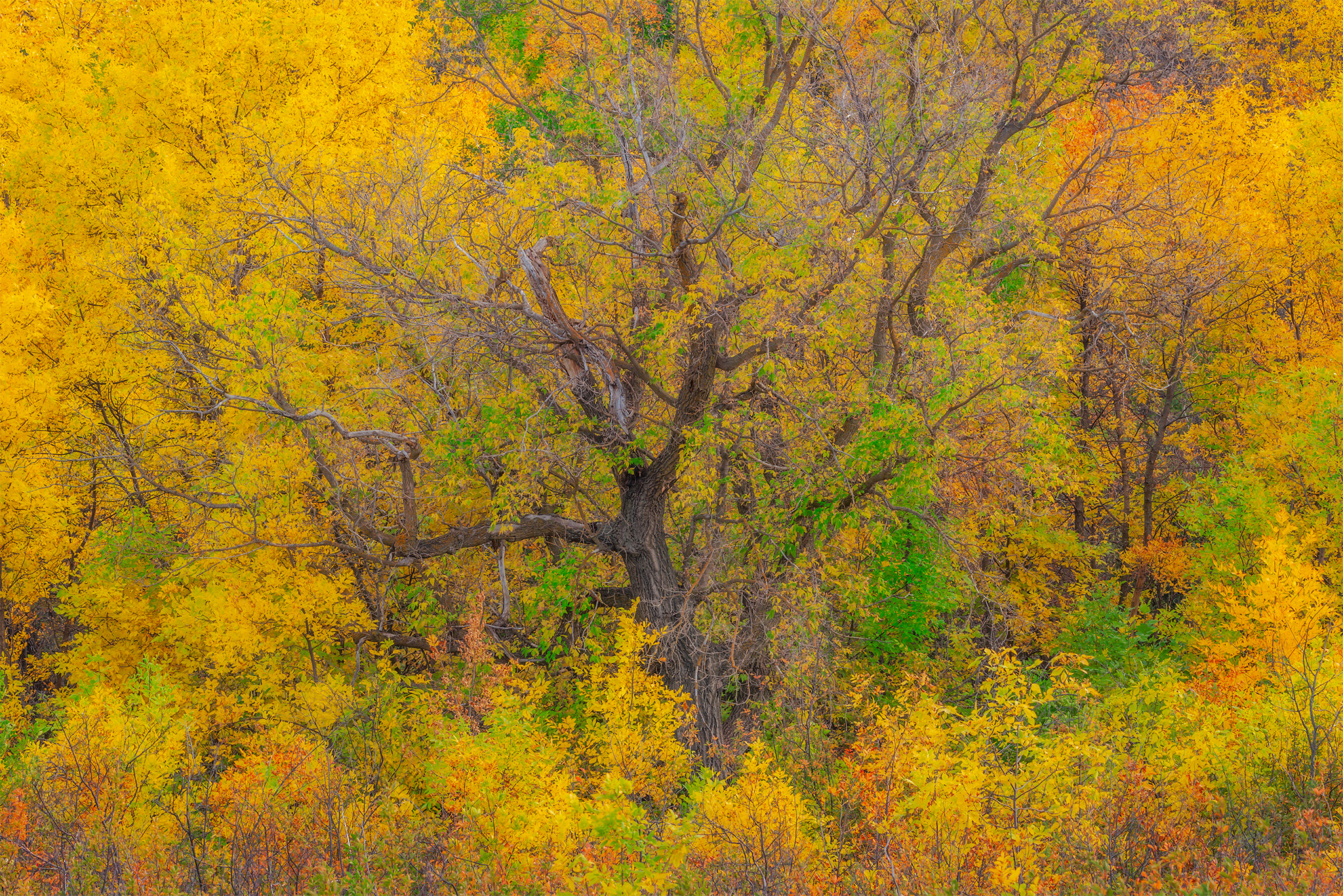An intimate landscape photograph of an old poplar tree surrounded by vivid fall colours in Wascana Trails, Sasktchewan